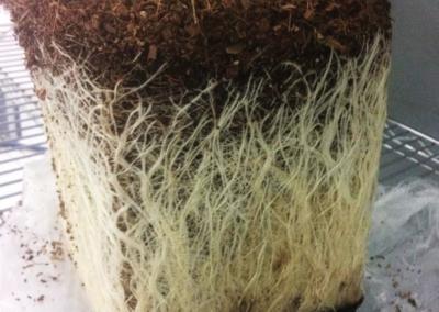 Veg plant (3 wks. from transplant)